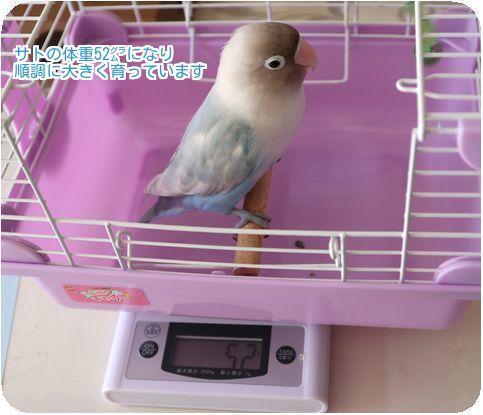 ④サト体重