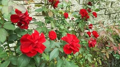 ガーデン内薔薇