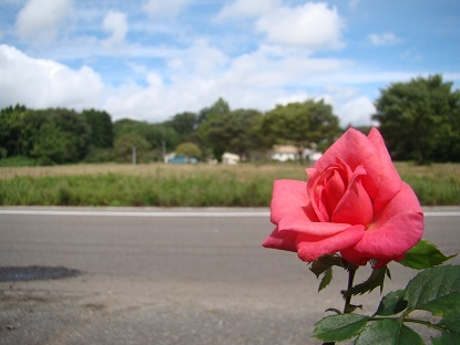 事務所の薔薇