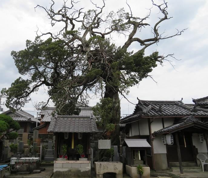 常行寺のビャクシン