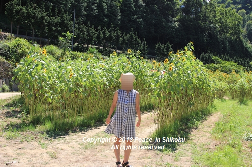 himawarimisato-07233073.jpg