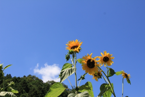 himawarimisato-07233074.jpg