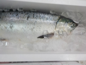 鮭2018106