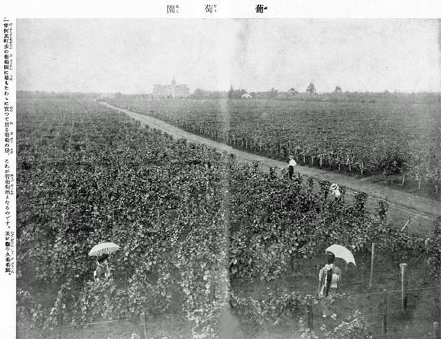 葡萄園1915oct