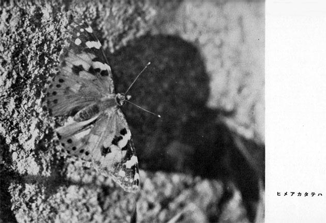 夏の虫1936jul