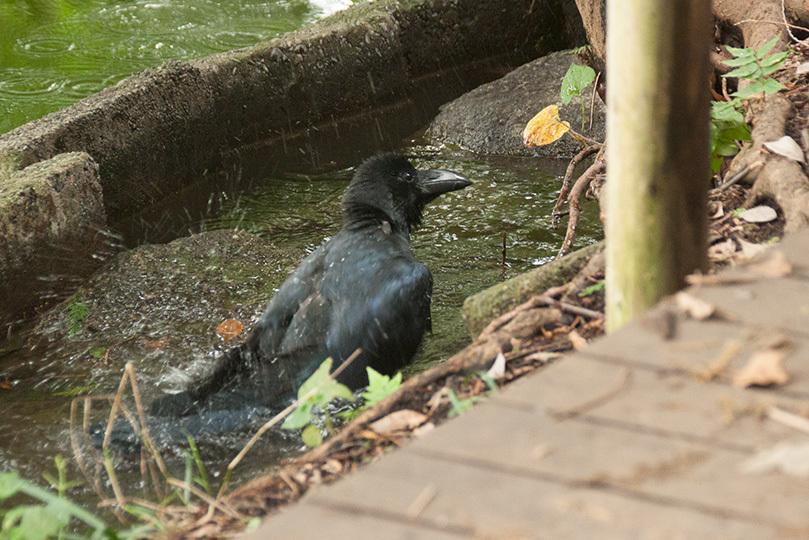 カラス水浴びIMG_4585