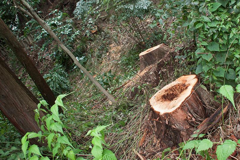 切られた木IMG_4596