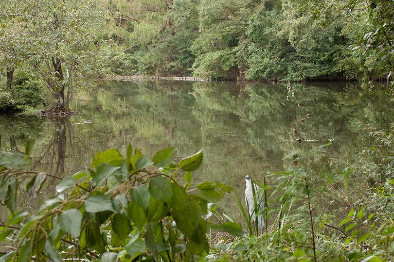 池アオサギ810IMG_5106