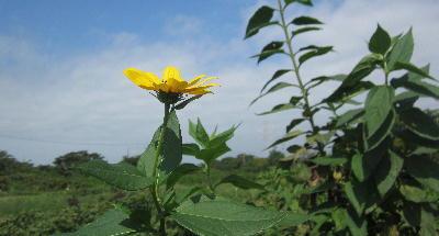 秋の畑の花 (3)