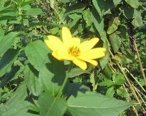 秋の畑の花 (2)