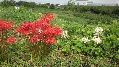 秋の畑の花 (1)