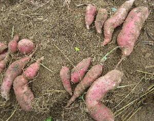サツマイモ試掘り (紅はるか) (1)