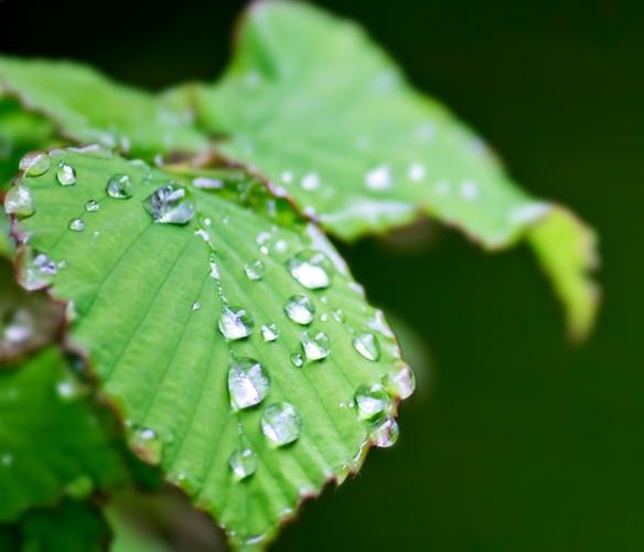 緑の葉に雨粒