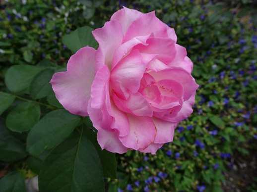 20180904 夏の薔薇