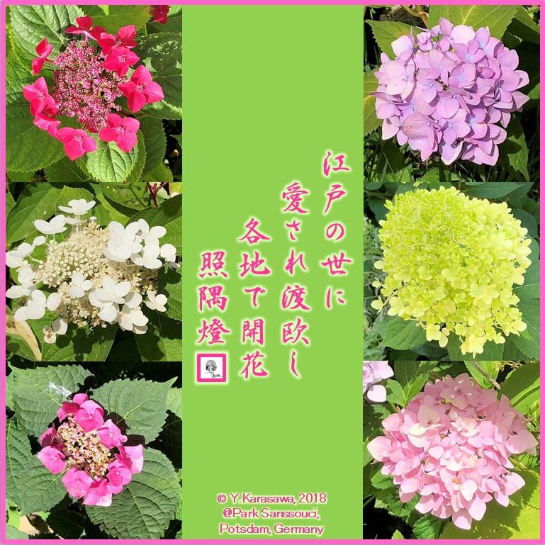 1808221紫陽花各種LRG