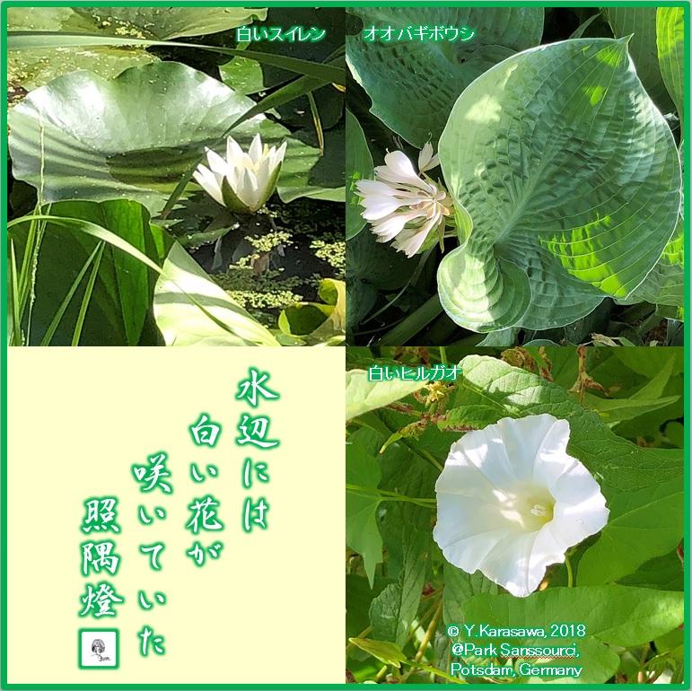 180825水辺の白い花LRG
