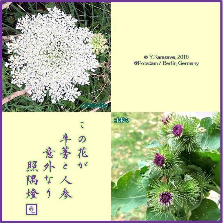 180828野良人参と西洋牛蒡の花LRG