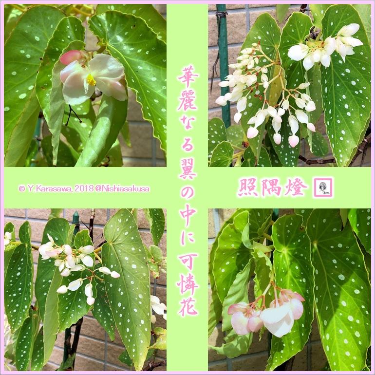 180918木立ベゴニア薄桜色LRG