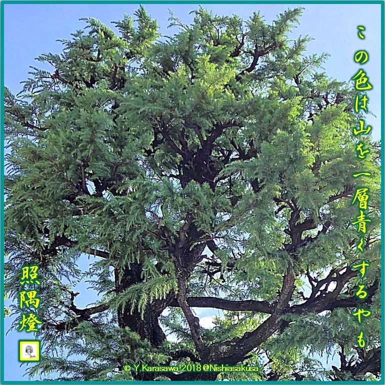 180924青いヒマラヤ杉LRG