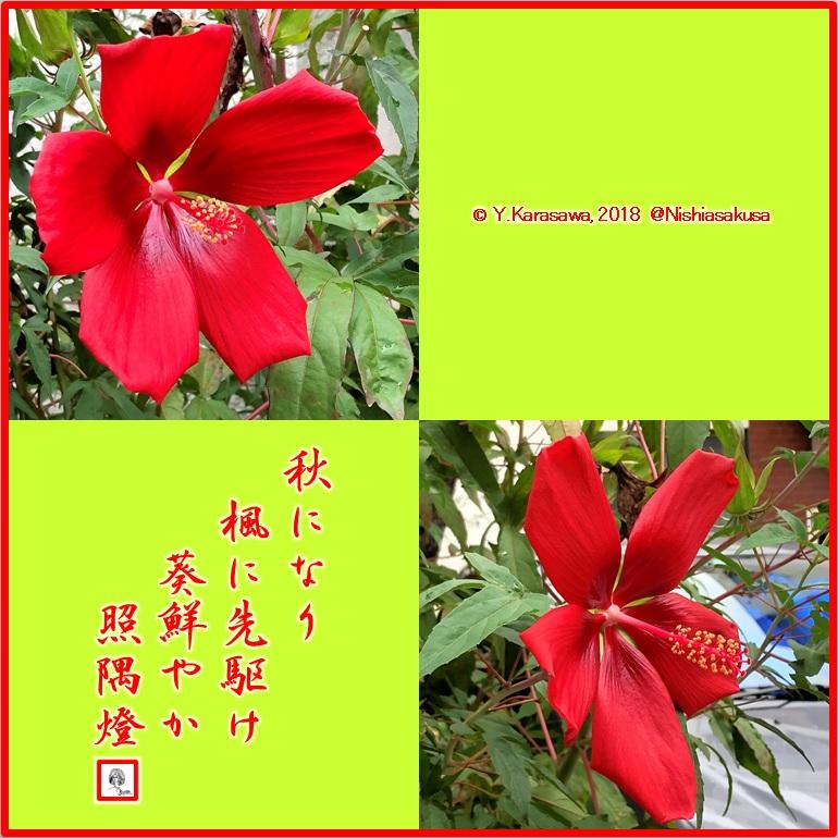 181005紅葉葵LRG