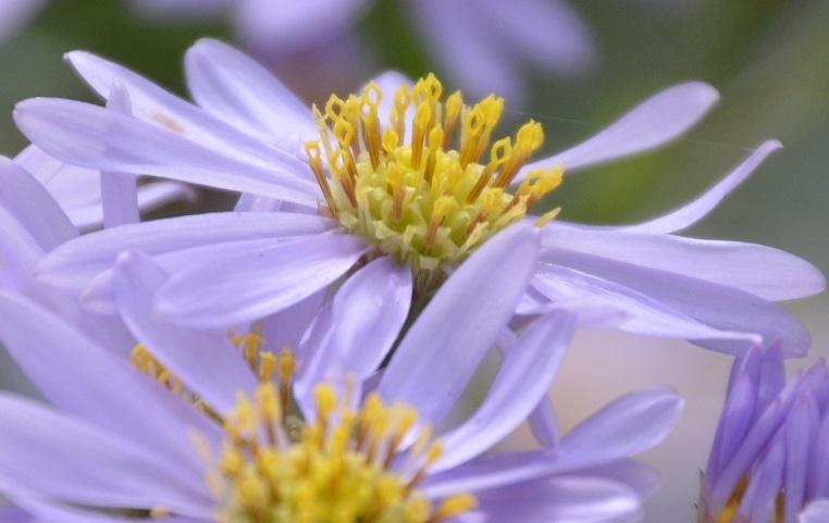 DSC_0304紫苑のしべ