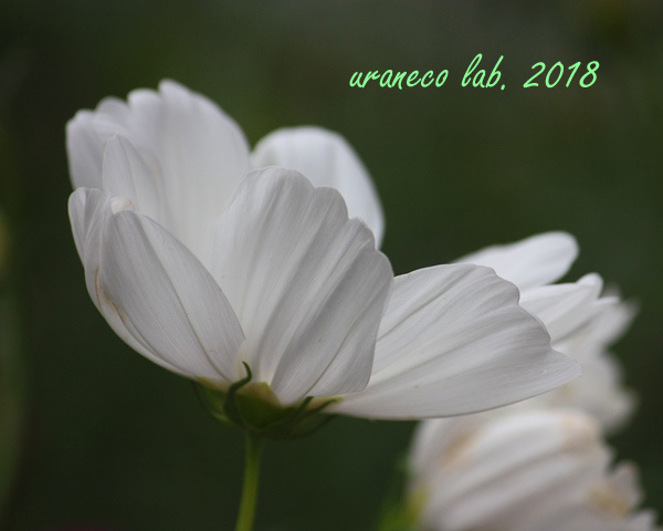 10月9日コスモス2