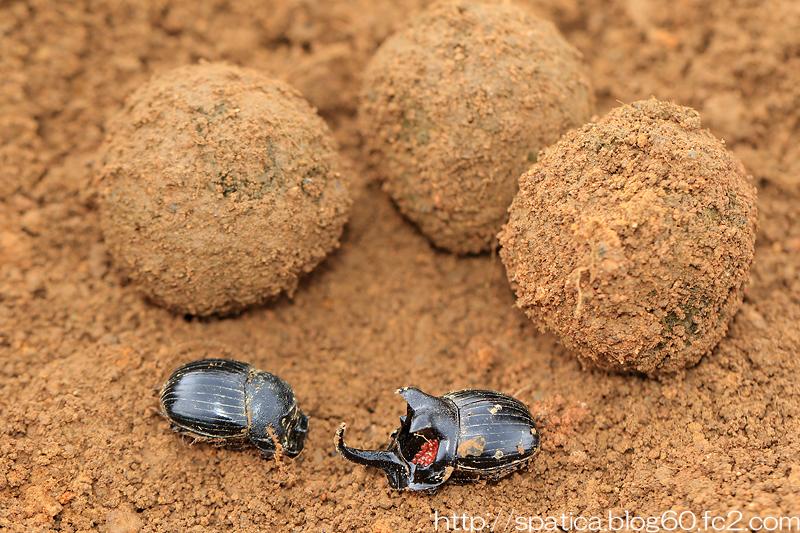 ダイコクコガネペアと糞球