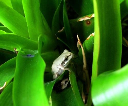 003避暑地のカエル