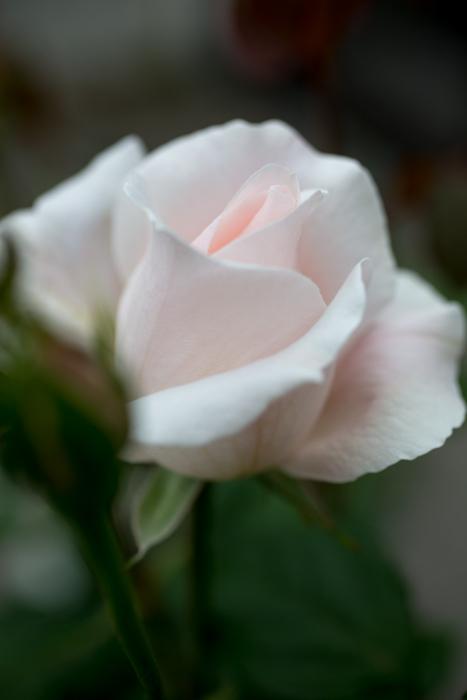 rose20180728-1345-2.jpg