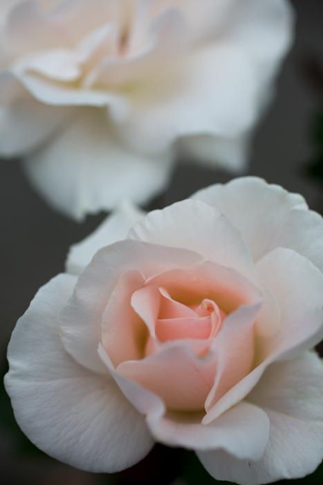 rose20180728-1360.jpg
