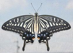 アゲハ250px-Papilio_xuthus_front_view_2011-07-16