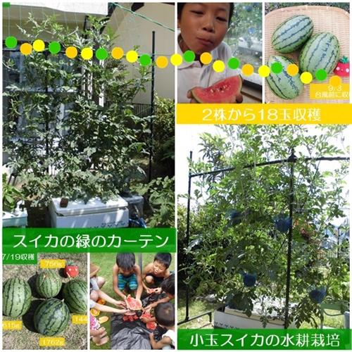 小玉スイカの水耕栽培
