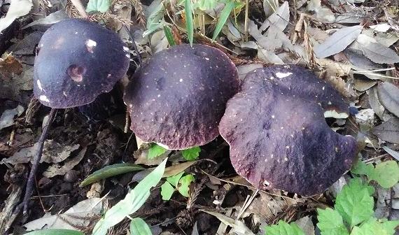 三つ子紫20180811