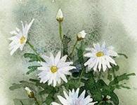 マーガレット水彩作品
