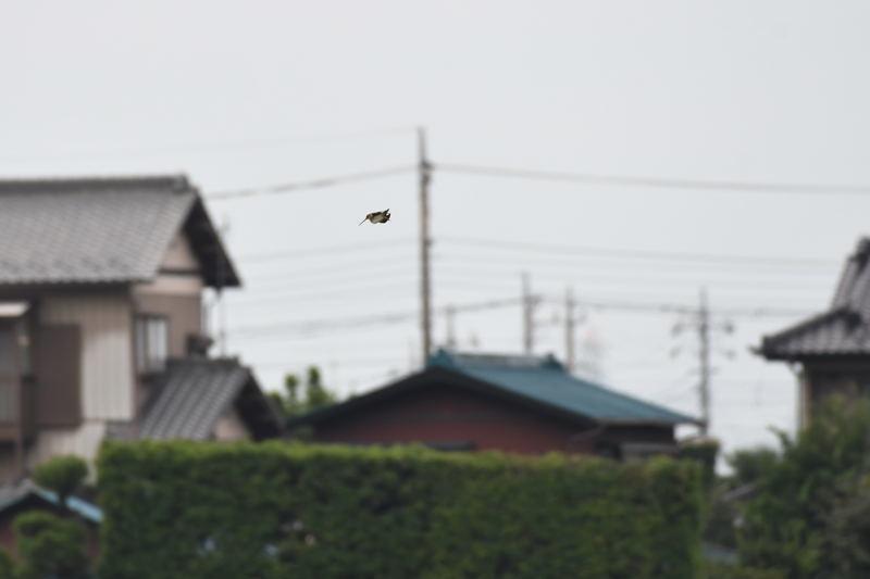 DSC_0393-ジシギ-B
