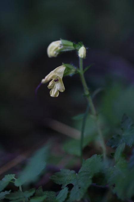 キバナアキギリ-1810-02