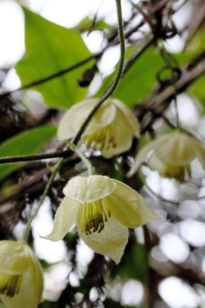 シロバナハンショウヅル-1604-02