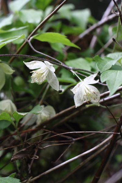シロバナハンショウヅル-180426-01