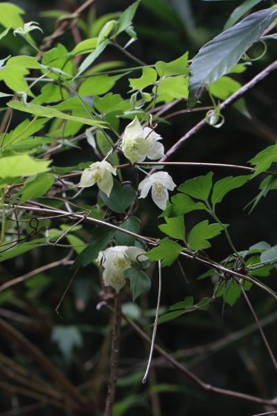 シロバナハンショウヅル-180426-03