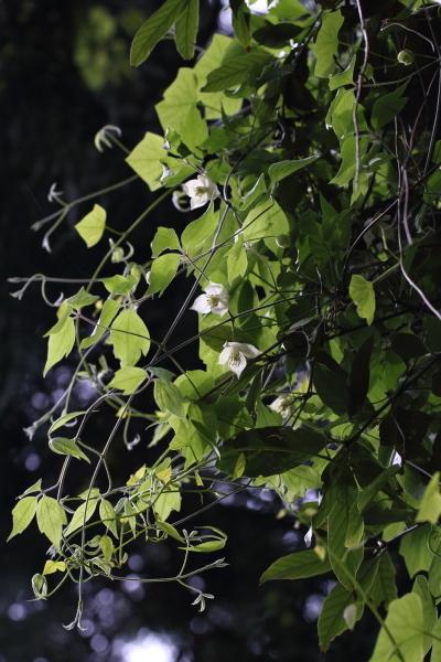 シロバナハンショウヅル-180426-04
