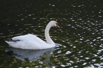 松本城 白鳥