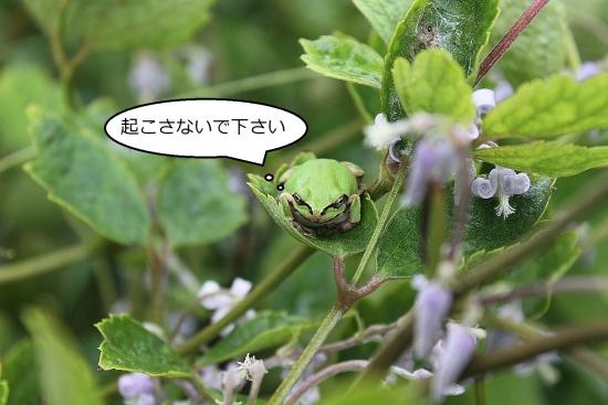 富士のクサボタン_5510 (5)