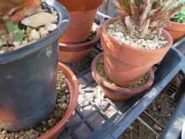 根詰まりかもしれないサボテンの土増し~下に新しい用土を入れてその上にのせて育てます。2018.08.12