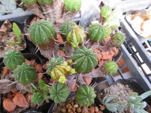 ■ユーフォルビア・紅キリン・斑入り(Euphorbia aggregata f. variegata)2018.08.16