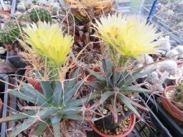 ■レウクテンベルギア・晃山(こうざん)(Leuchtenbergia principis)またまた開花中♪2018.08.16