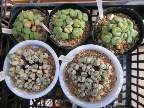 コノフィツム・テトラカープム Conophytum tetracarpum(白鉢)、群碧玉Conophytum_minutum(右)~2018.07.20の様子