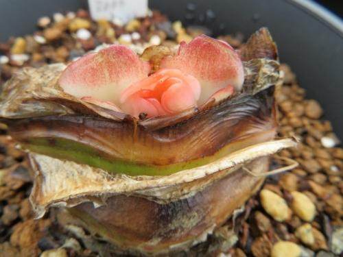 ■赤花ハエマンサス・眉刷毛オモト落葉型(Haemanthus coccineus) 植え替えしました♪2018.09.02