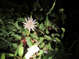 ミニドラゴンフルーツ(Epiphyllum guatemalense f. monstrosa)2018.09.04