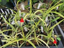 斑入りパイナップルの苗土に、ユーフォルビア・噴火竜・ピグエリー(Euphorbia viguieri)こぼれ種発芽?2018.09.07