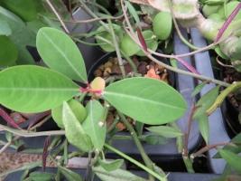 ユーフォルビア・噴火竜・ピグエリー(Euphorbia viguieri)こぼれ種発芽?2018.09.07